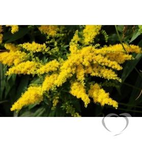 Золотая розга (золотарник канадский) Solidago canadensis L.